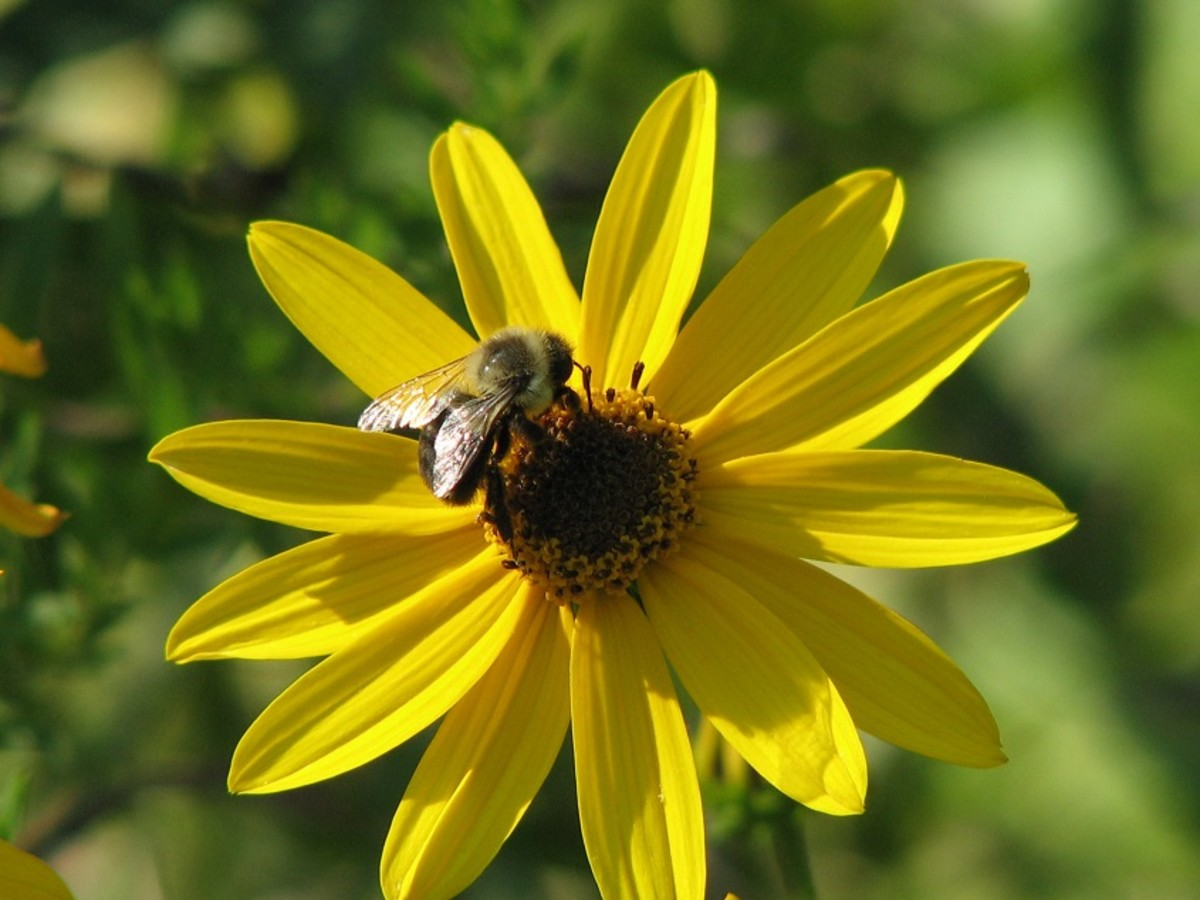 Native sunflowers are important pollinator plants especially for native bees, honeybees and butterflies.