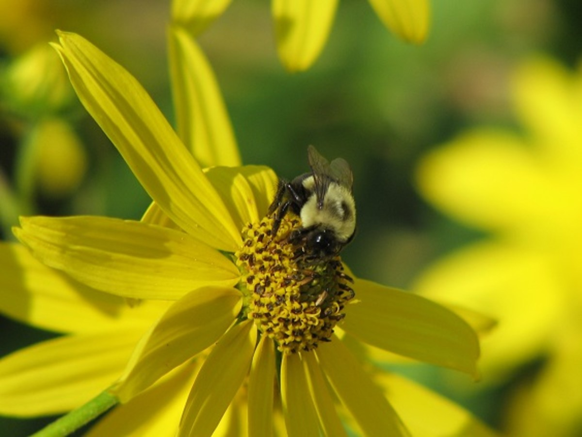 Bumblebees are one of the native bees which pollinate our fruits and vegetables.