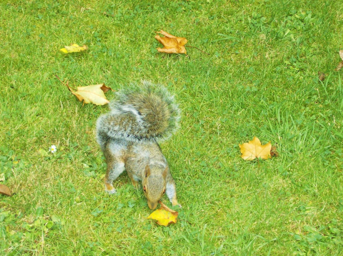 A squirrel waiting to join the picnic. They are very tame and very bold, hold on to your sandwiches!