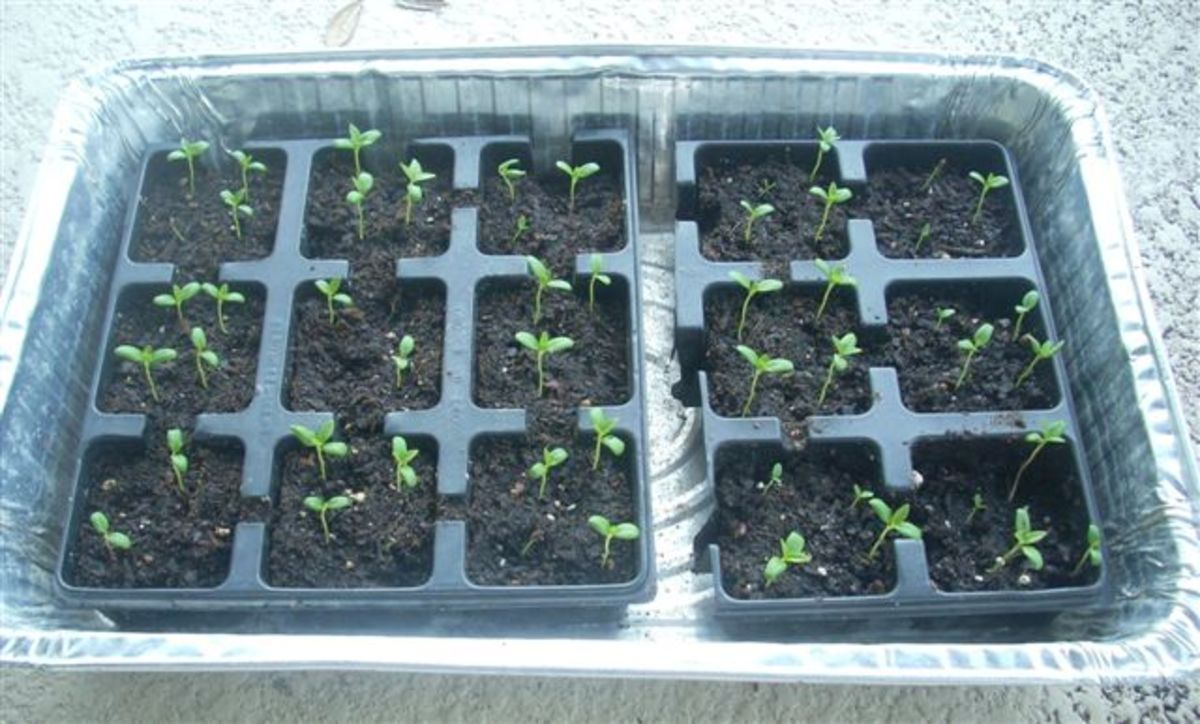 How to grow Milkweed from seed