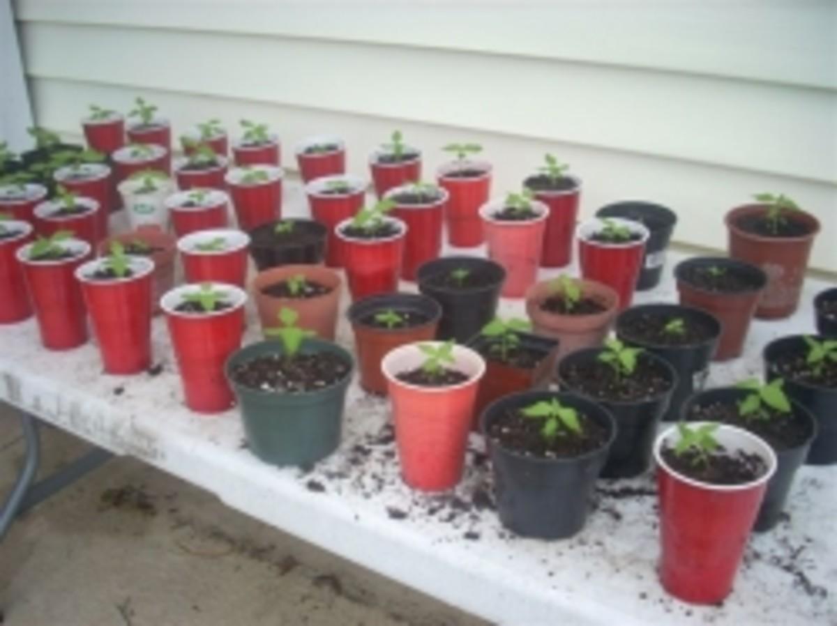 Transplanting milkweed