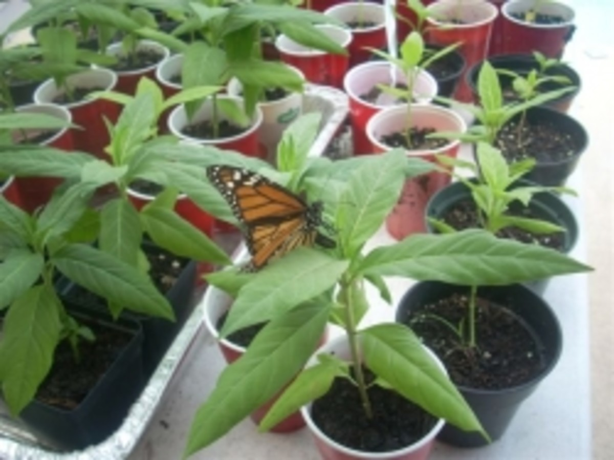 Monarch lays eggs curved abdomen