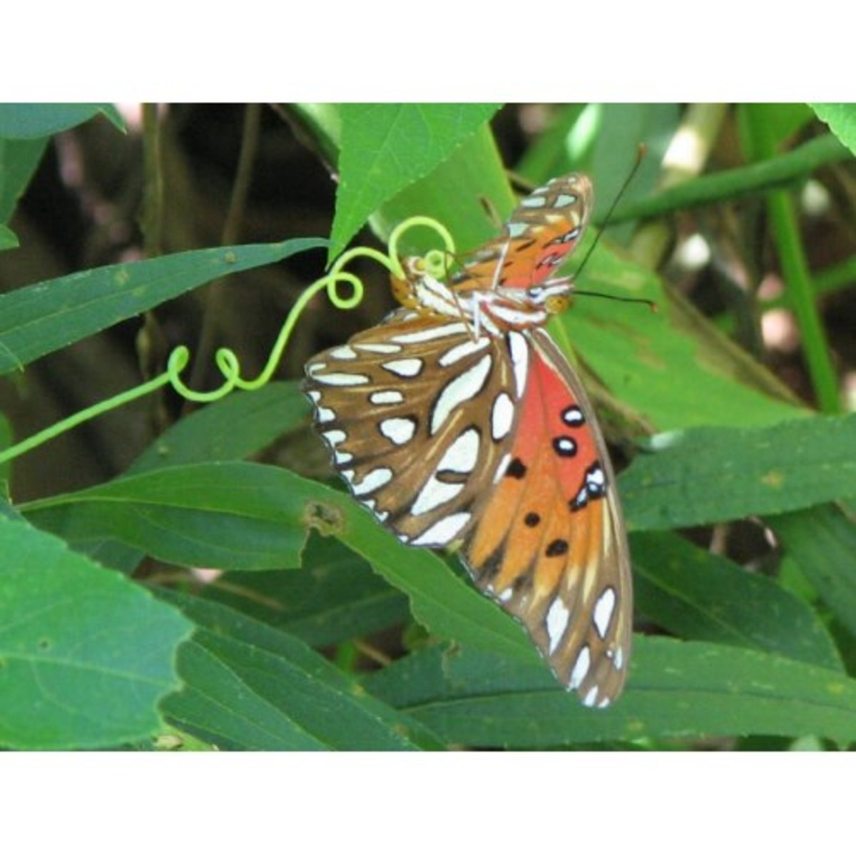 A Gulf fritillary butterfly laying her egg on passion flower vine.