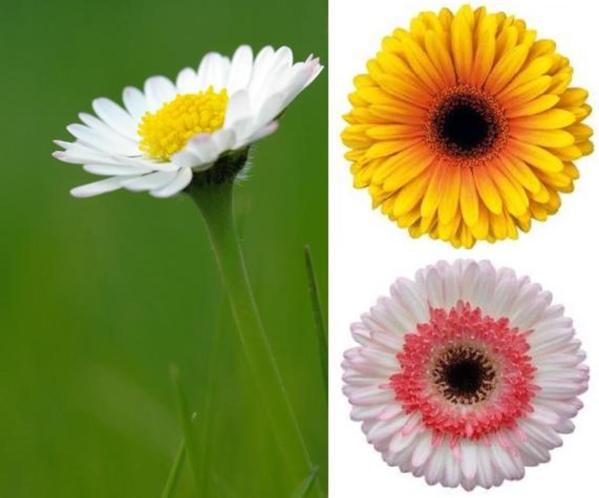 Daisy Flower Facts and Meaning