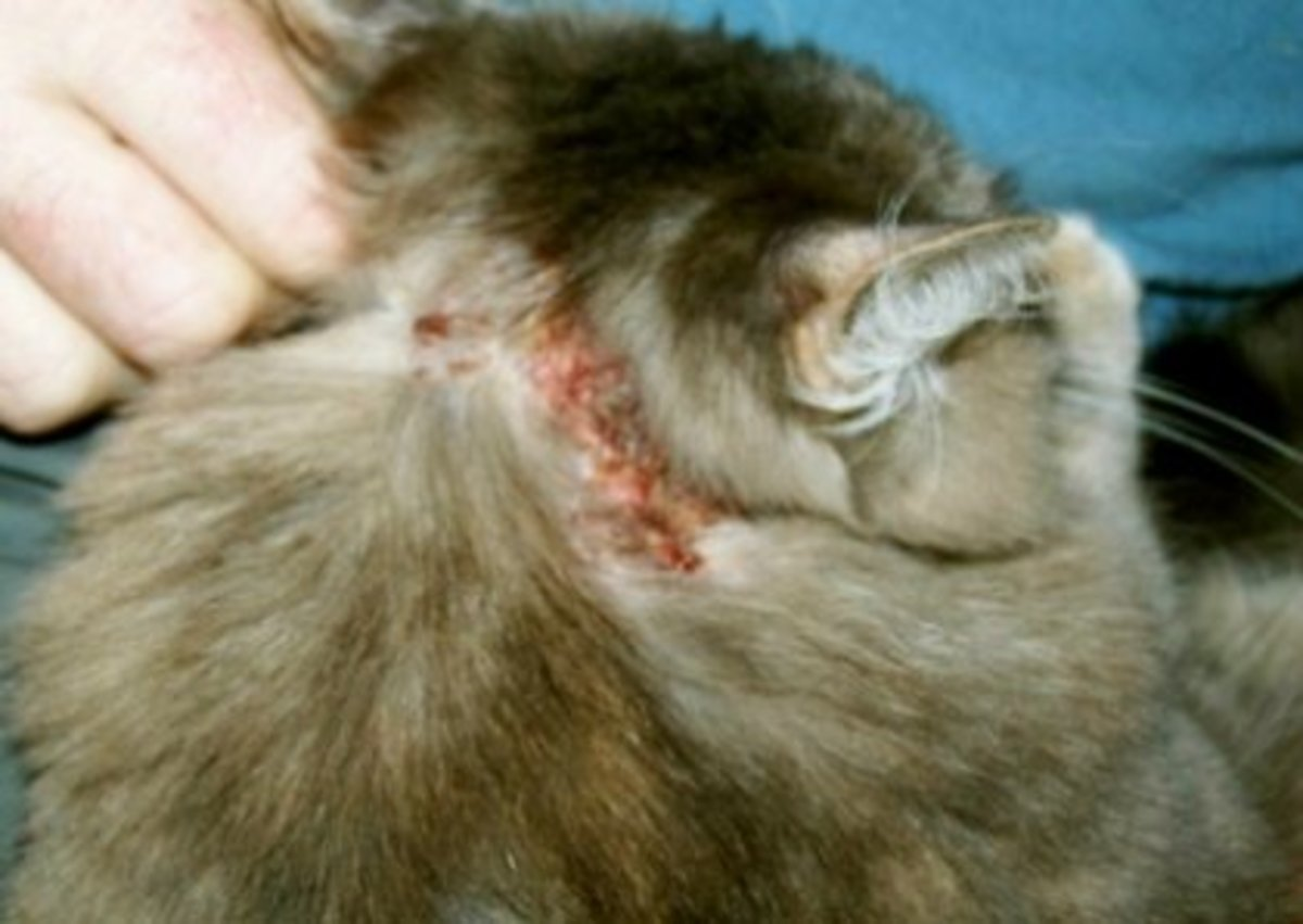 Scratching profusly breaking the skin, quickly causes a staph infection