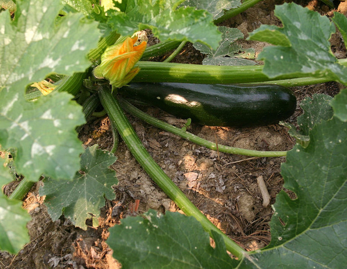 One of the most common fruit of the Cucurbita family, the zucchini.