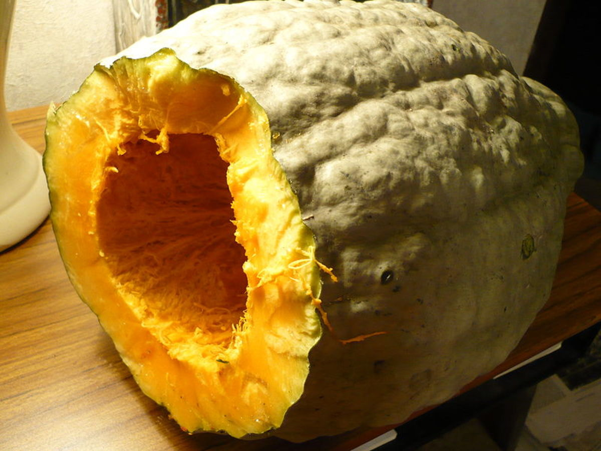 This C. maxima is the blue hubbard squash.
