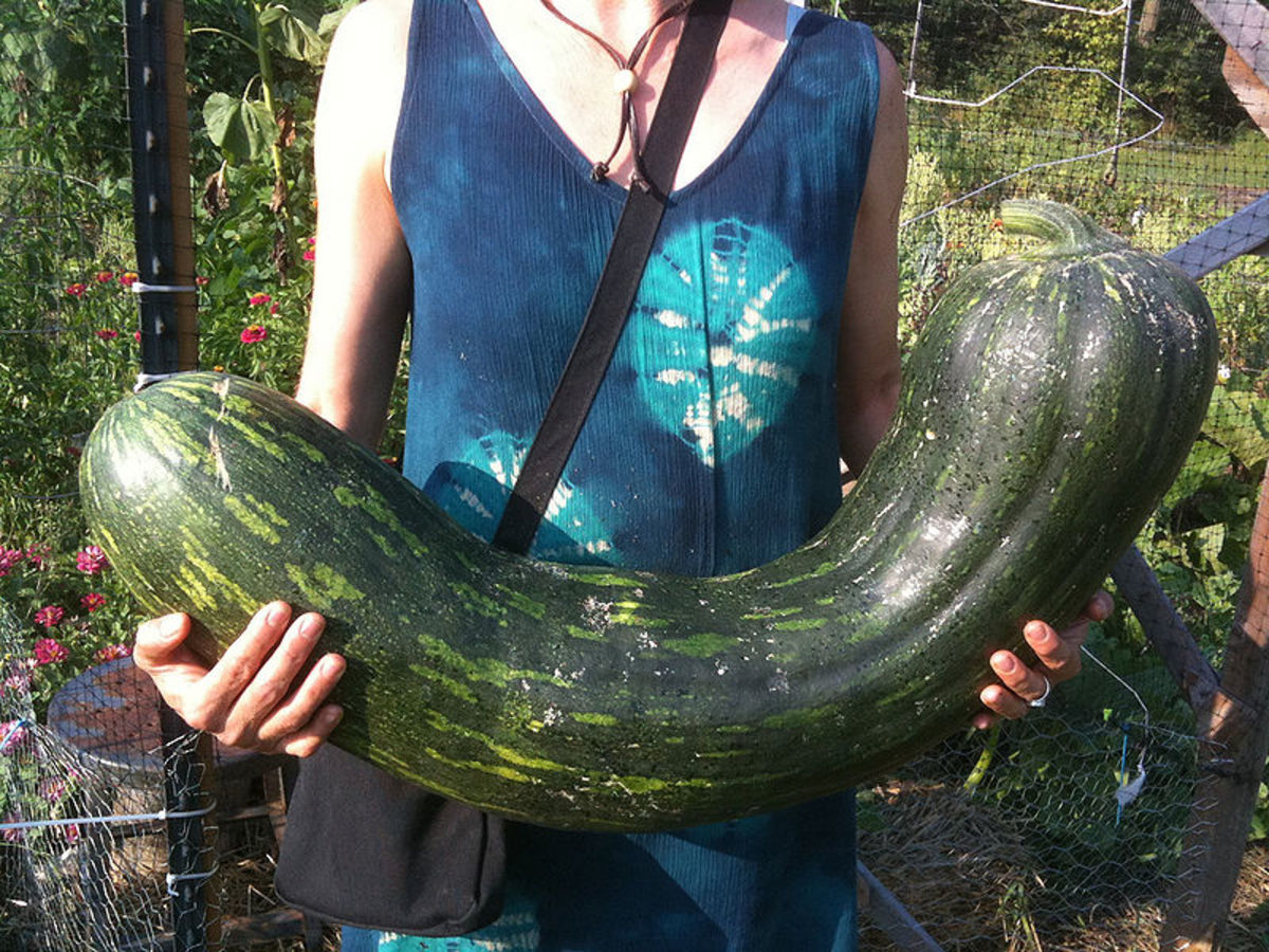 Long of Naples squash