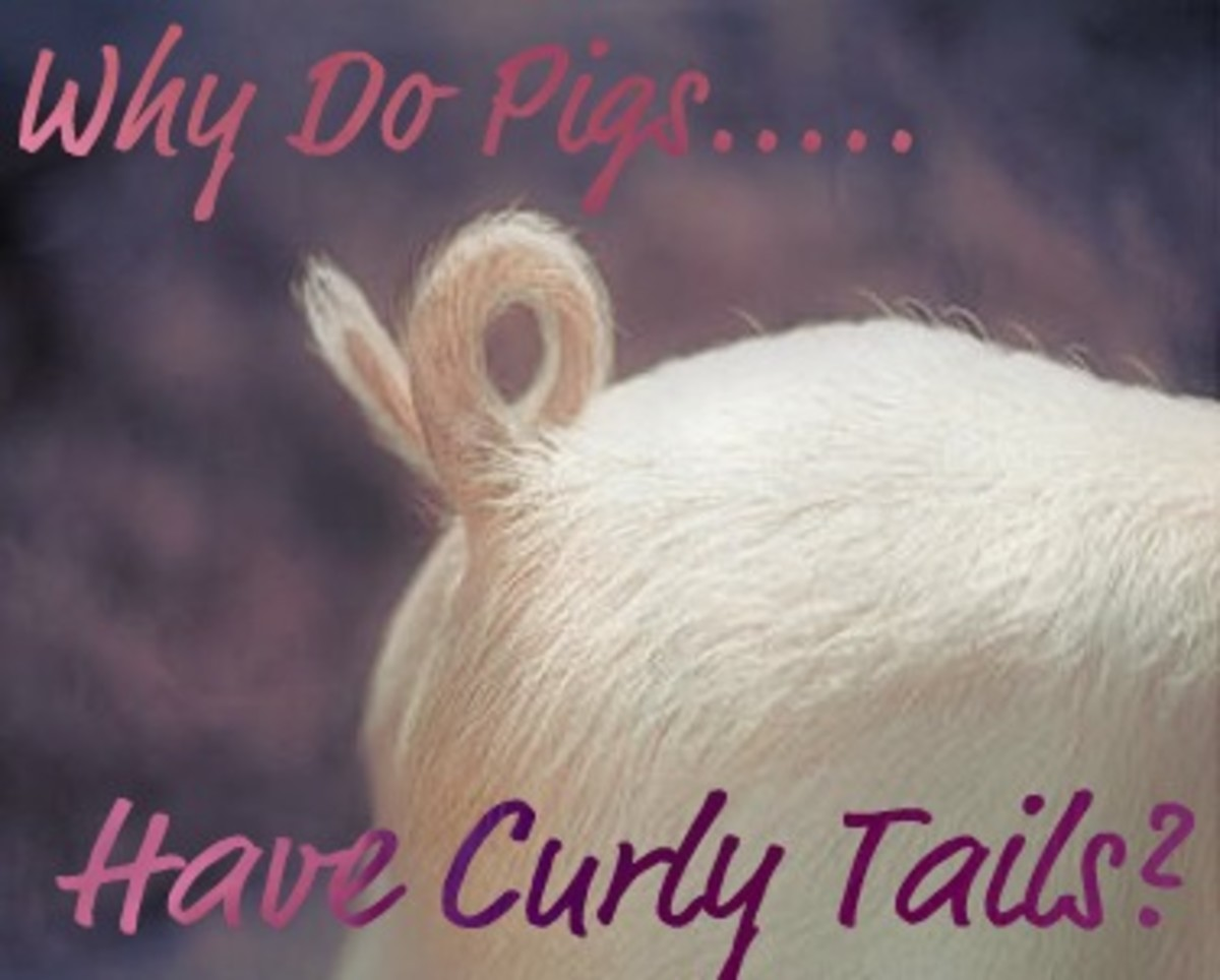 Why do pigs have curly tails?
