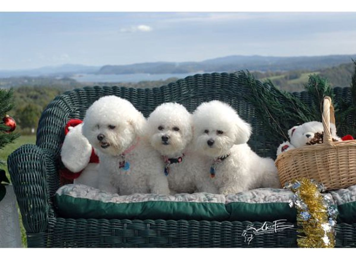 My homefed Bichons