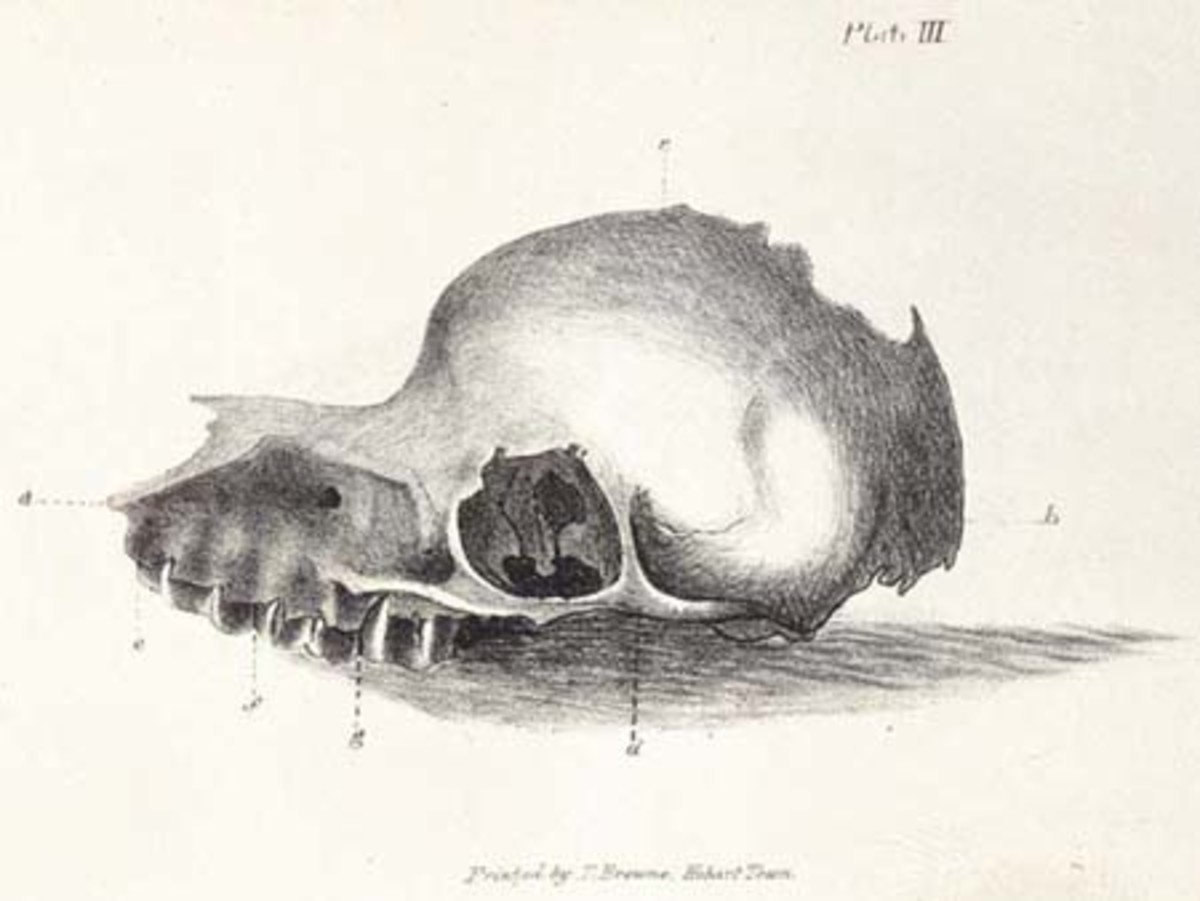 Bunyip skull as depicted in The Tasmanian Journal of Natural Science