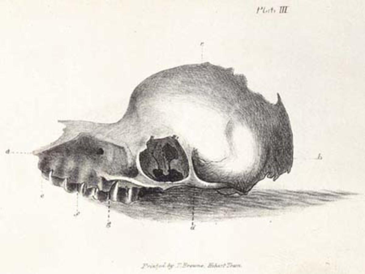 Bunyip skull as depicted in The Tasmanian Journal of Natural Science