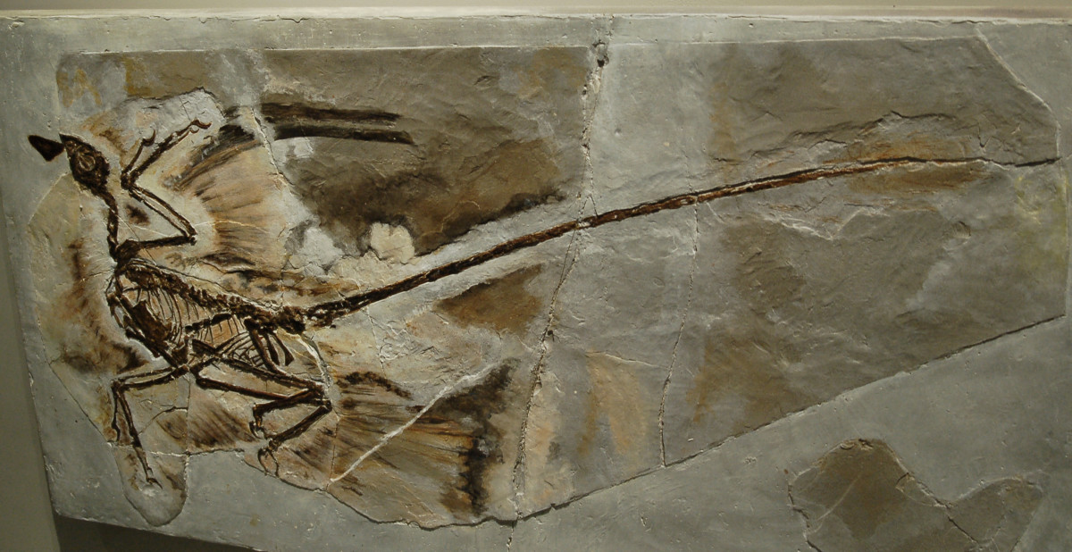 A Megaraptor fossil that has been found.