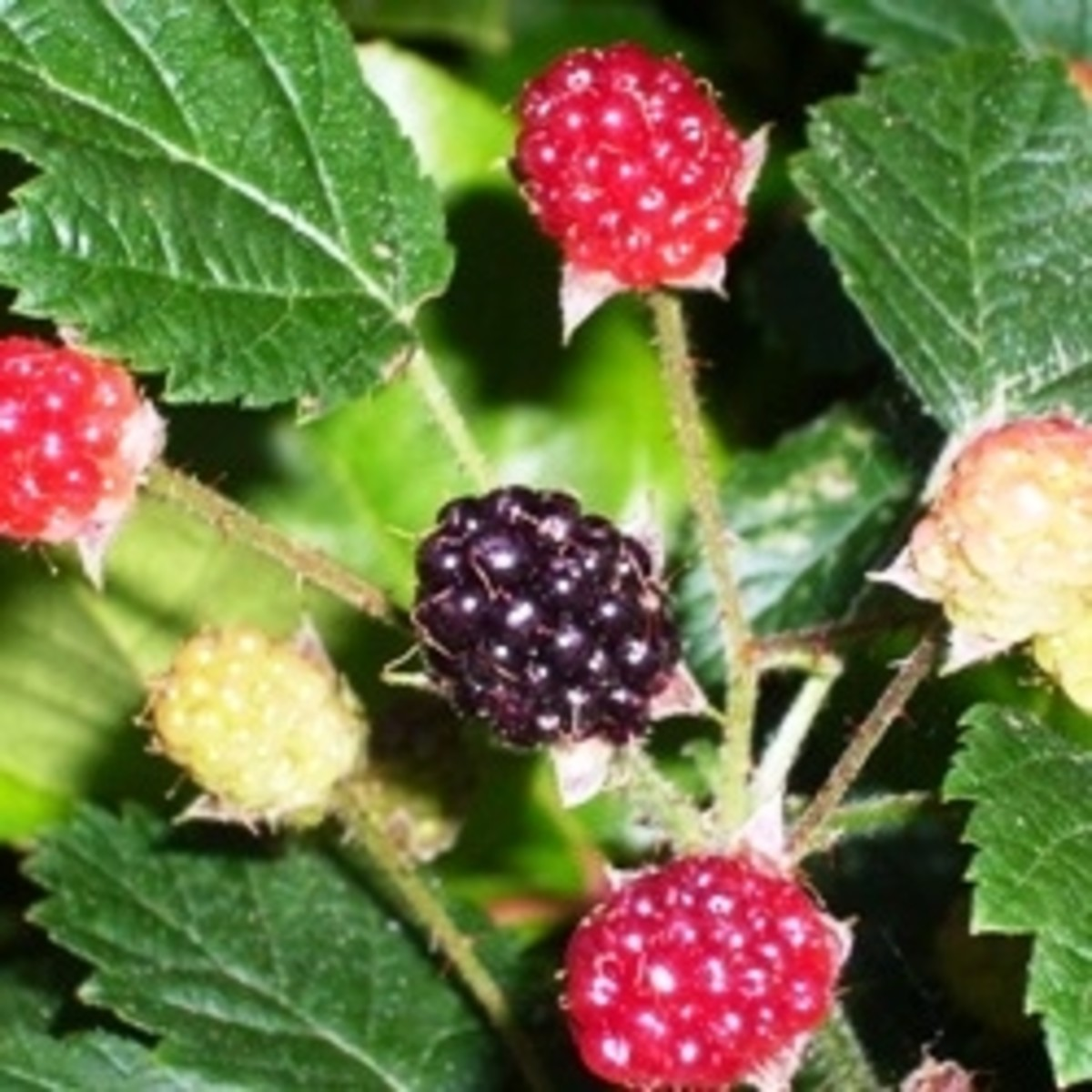 Native Edible Plants Australia: Edible Wild Berries