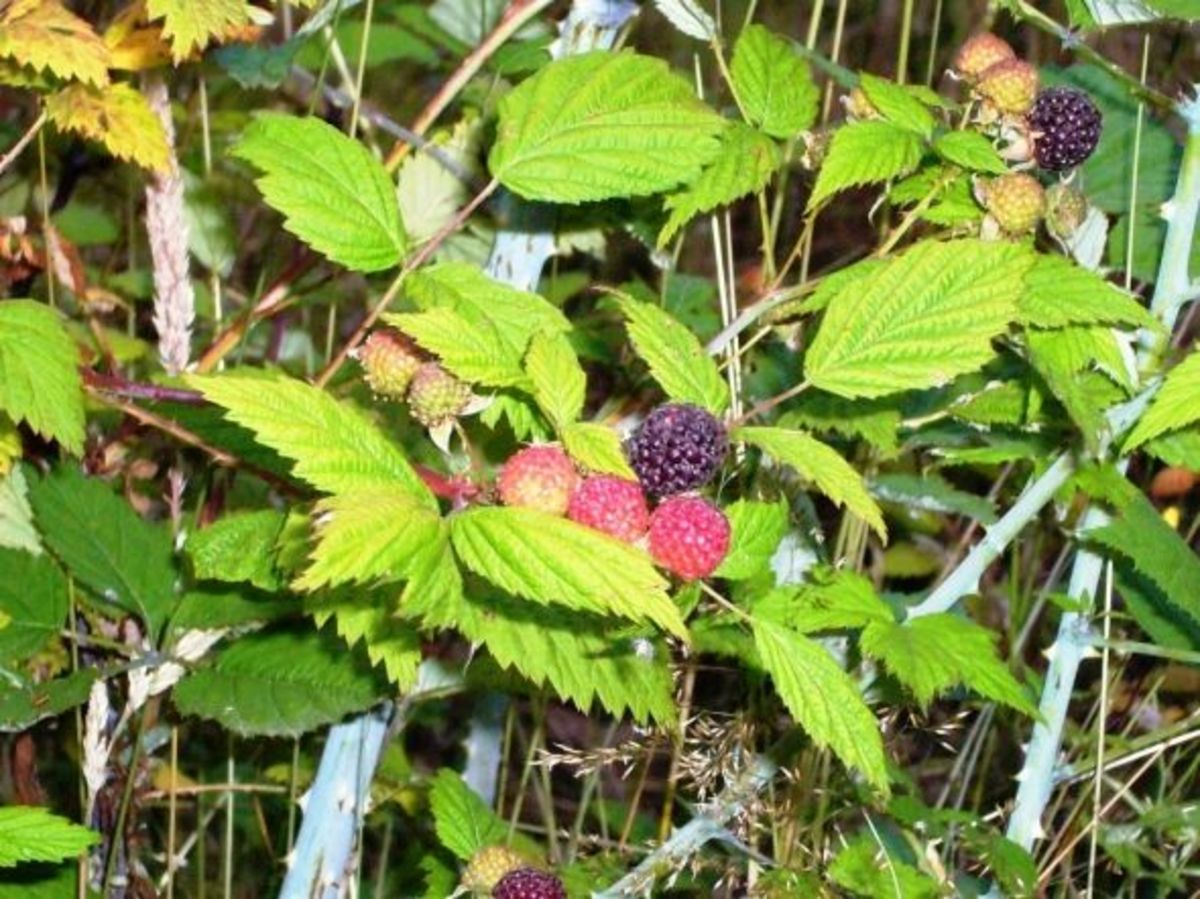 Wild black-cap Berries