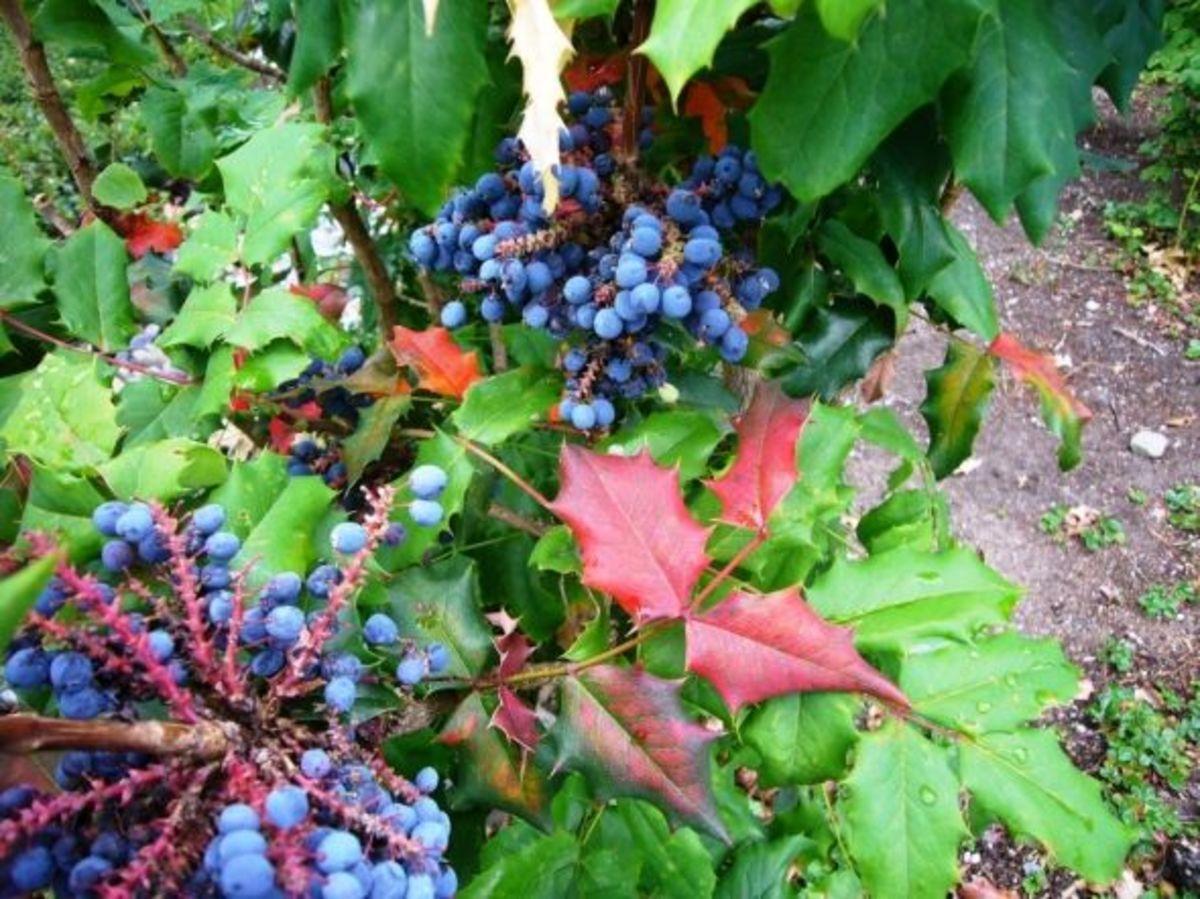 Oregon Grape - Mahonia Aquifolium