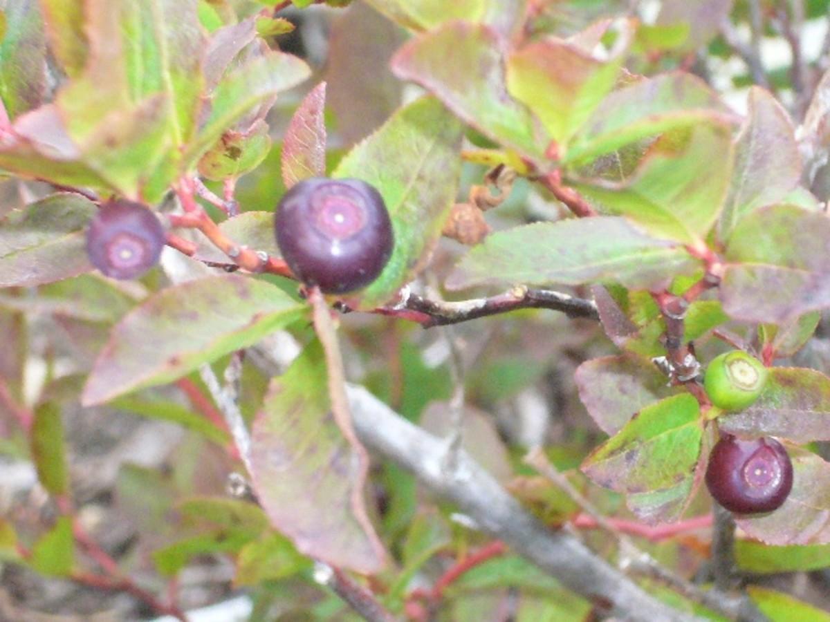 Mountain Huckleberries