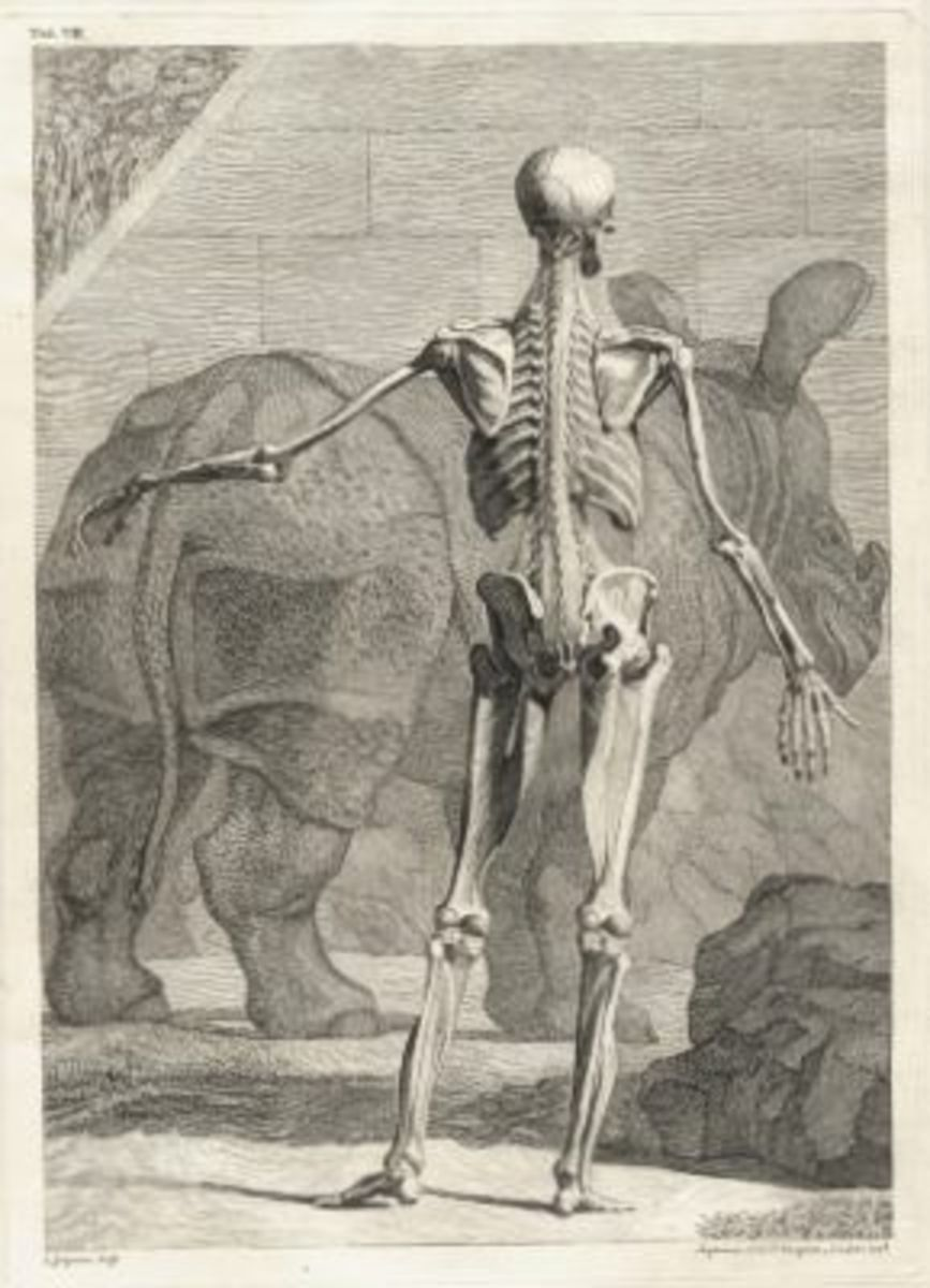 Skeleton Illustration Table 4 from Tabulae sceleti et musculorum corporis humani