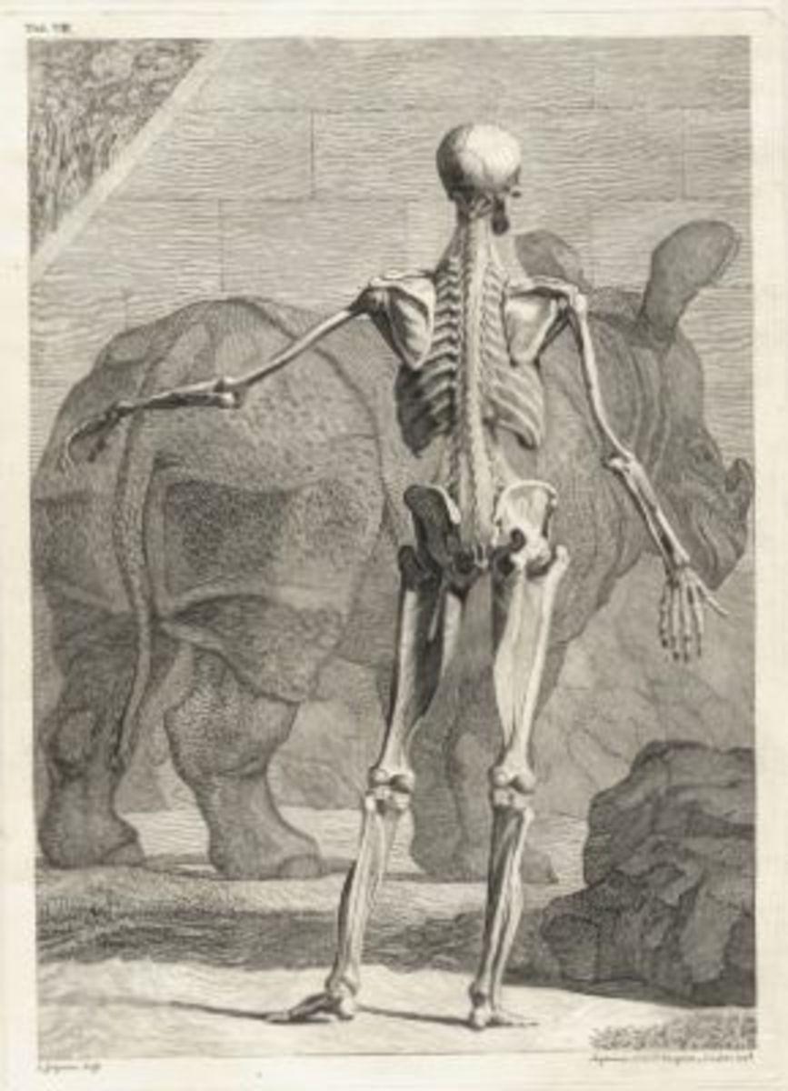 Skeleton Illustration Table 4 from Tabulae sceleti et musculorum corporis humani