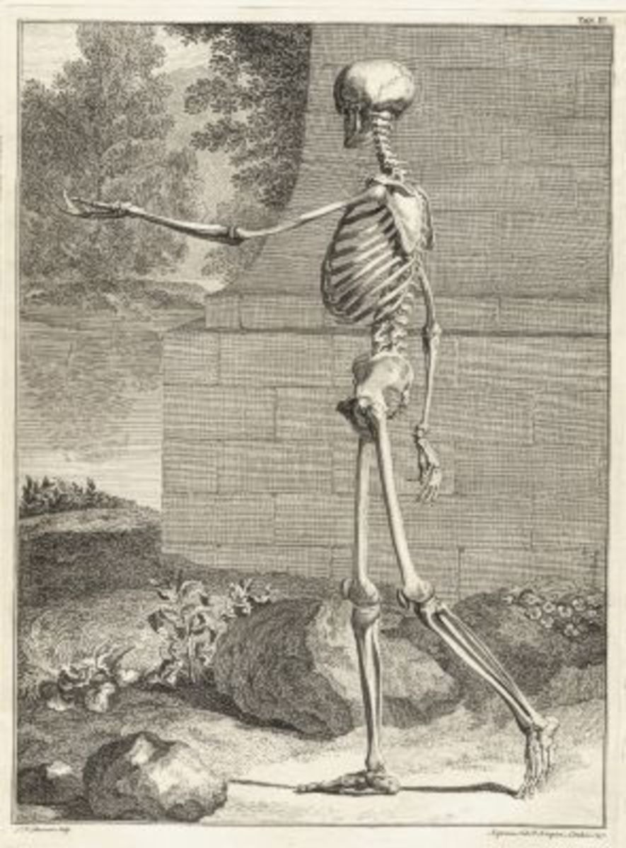 Skeleton Illustration Table 3 from Tabulae sceleti et musculorum corporis humani