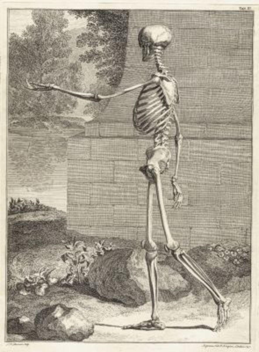 Skeleton Illustration Table 3 from Tabulae sceleti et musculorum corporis humani