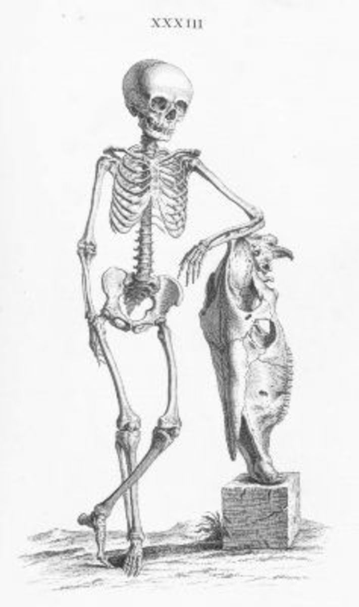Skeleton Illustration Plate 33 from Osteographia, or The anatomy of the bones