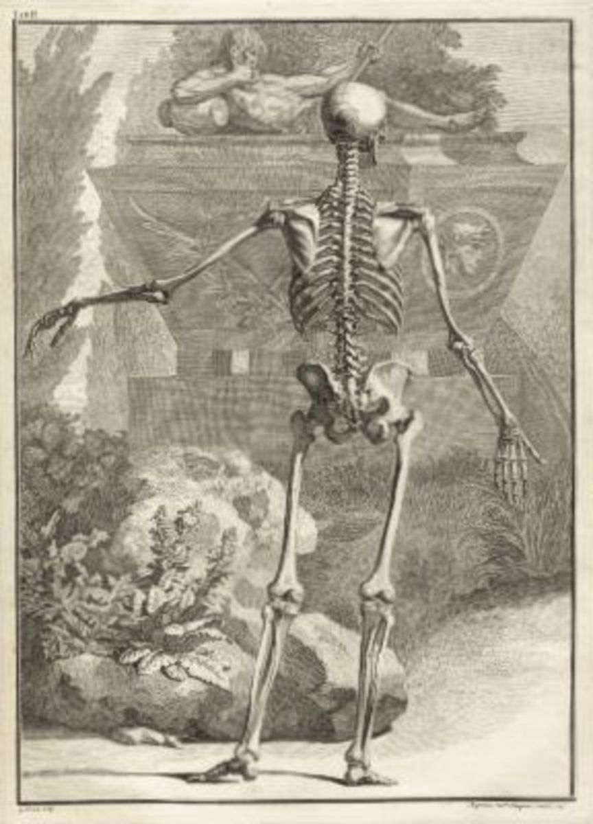 Skeleton Illustration Table 2 from Tabulae sceleti et musculorum corporis humani