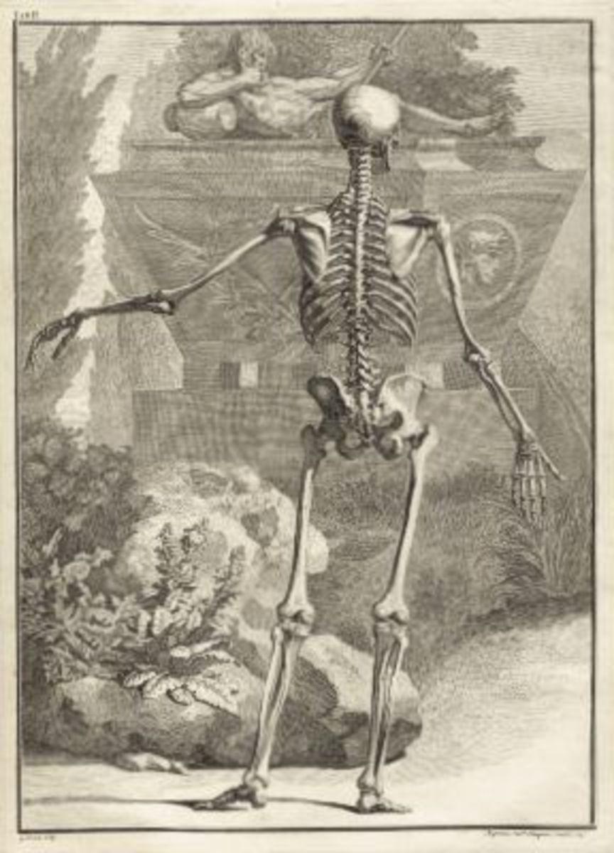 Skeleton Illustration Table 2 from Tabulae sceleti et musculorum corporis humani