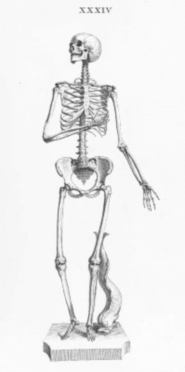 Skeleton Illustration Plate 34 from Osteographia, or The anatomy of the bones