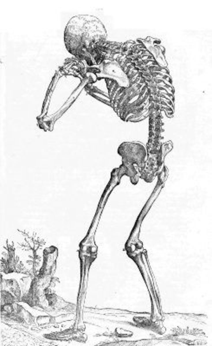 Skeleton Image from De humani corporis fabrica Page 165