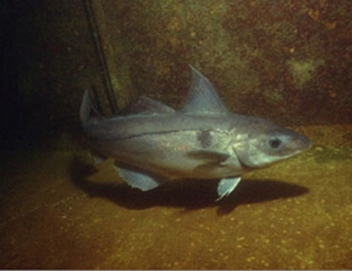 true-fishes-bony-fishes-barracudas-cod-and-herring