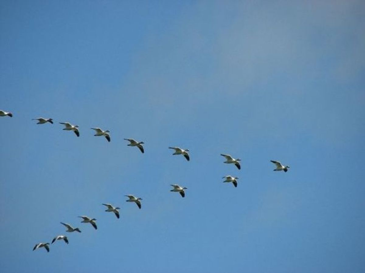 why-birds-fly-in-v-formation