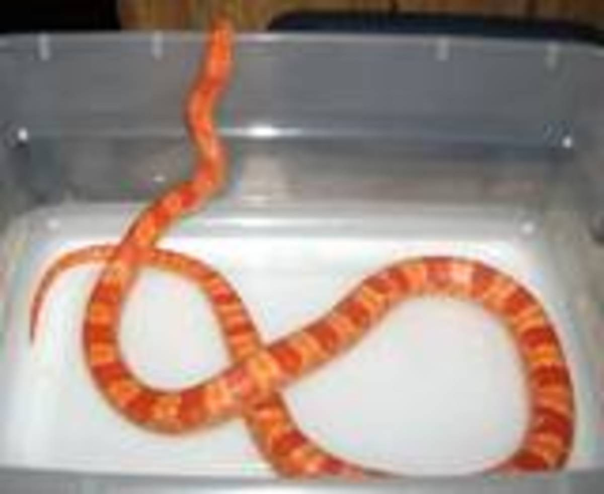 Please don't over feed a corn snake!
