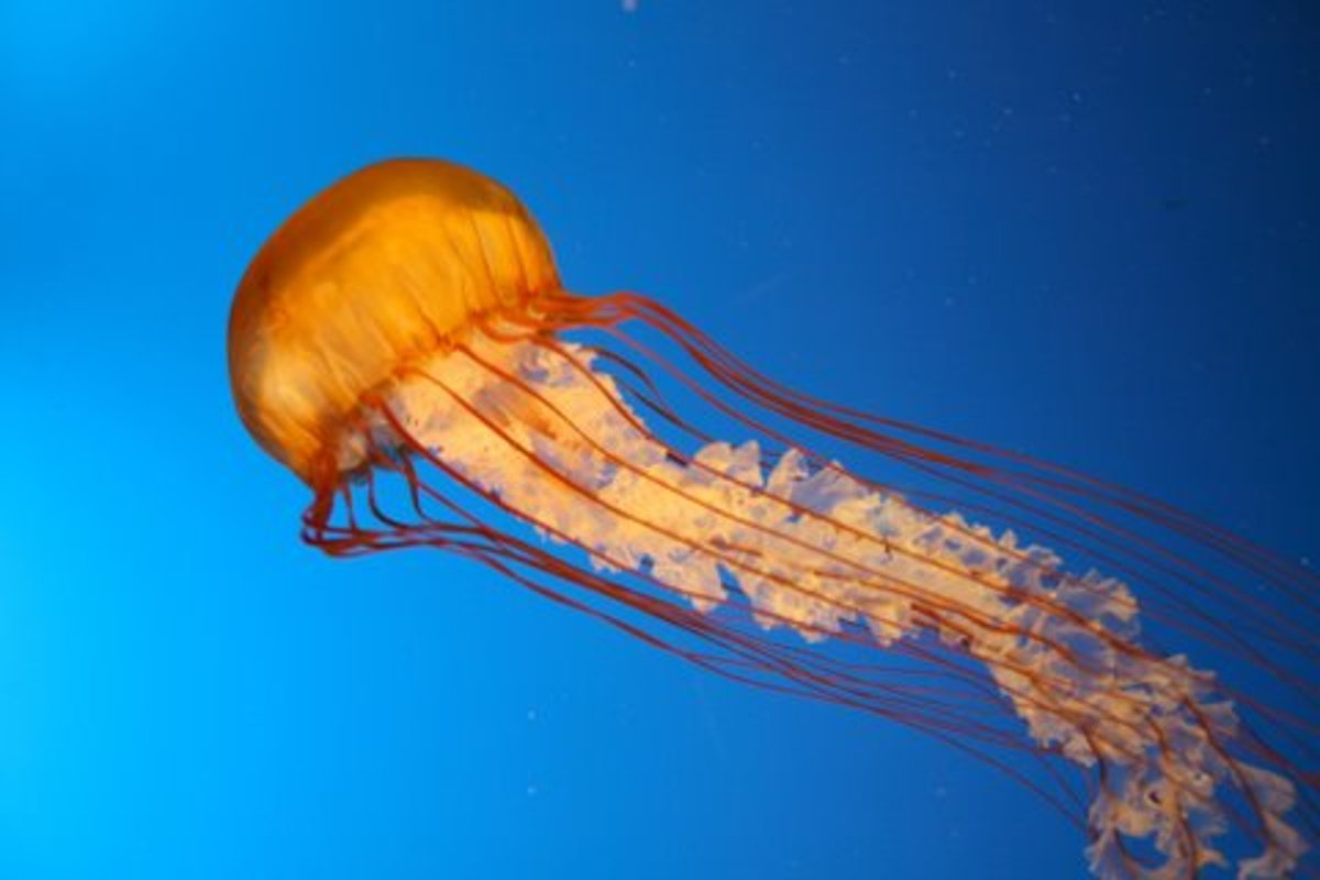 jellyfish medusa