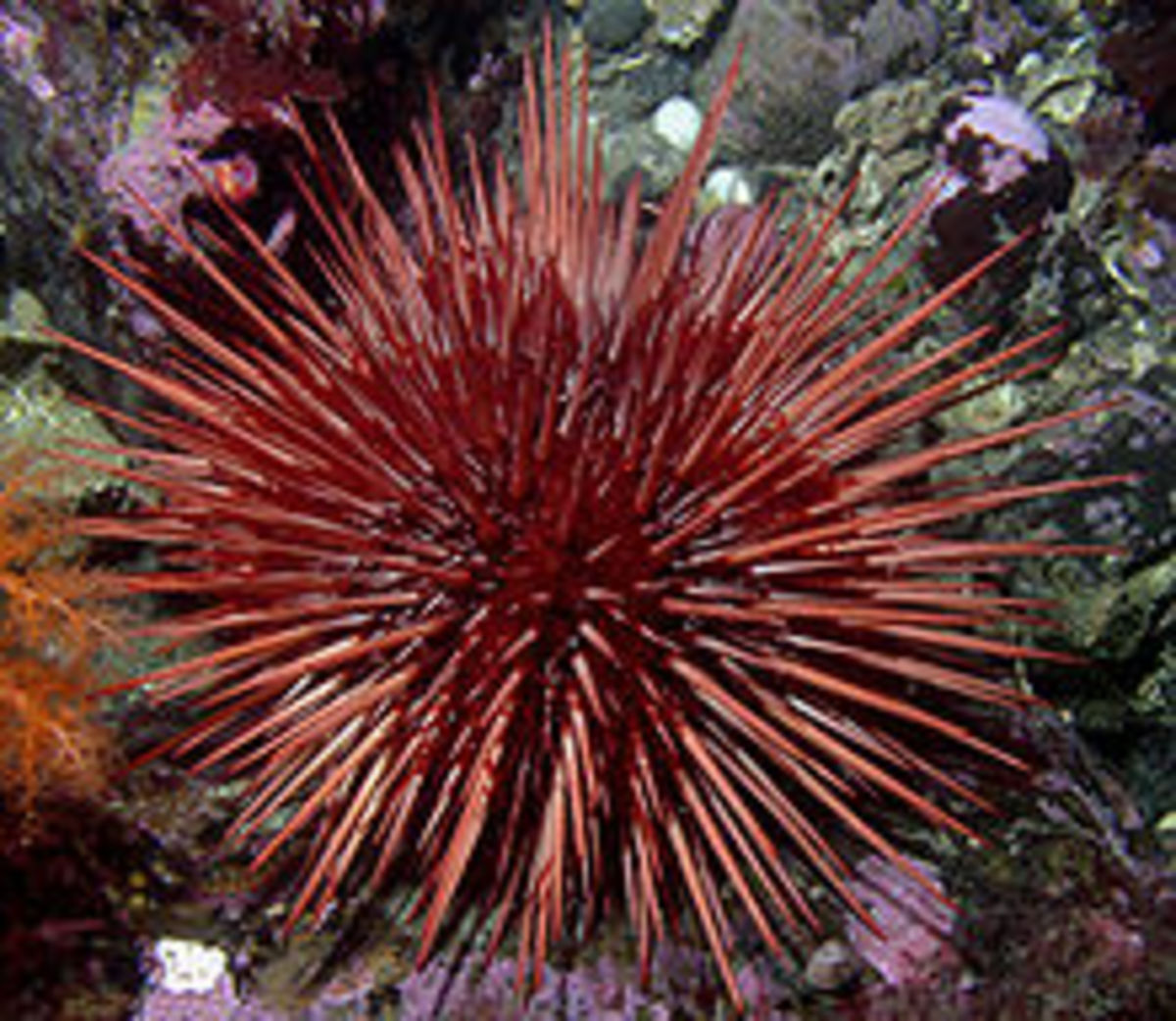 Strongylocentrotus franciscanus