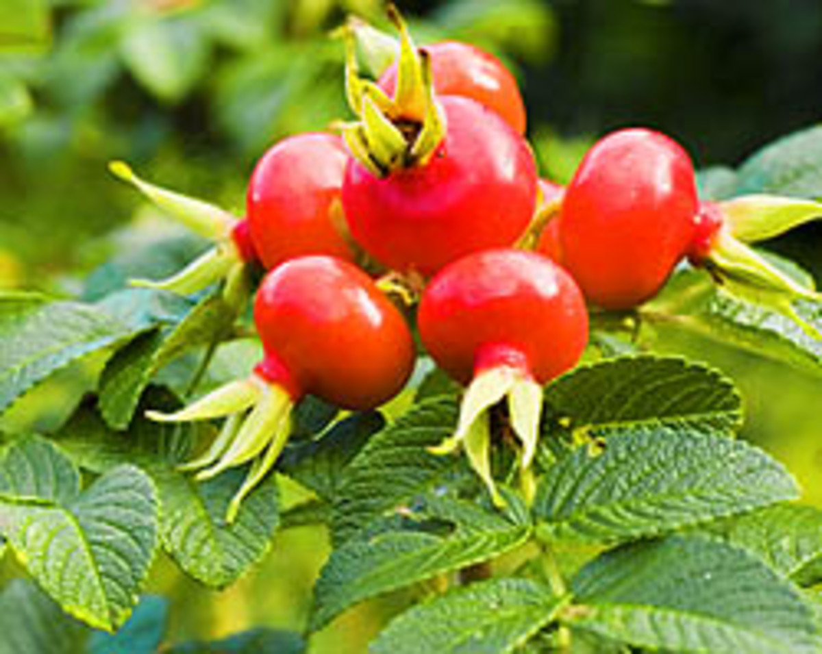 Rich moisturizing power of rose hip seed oi.