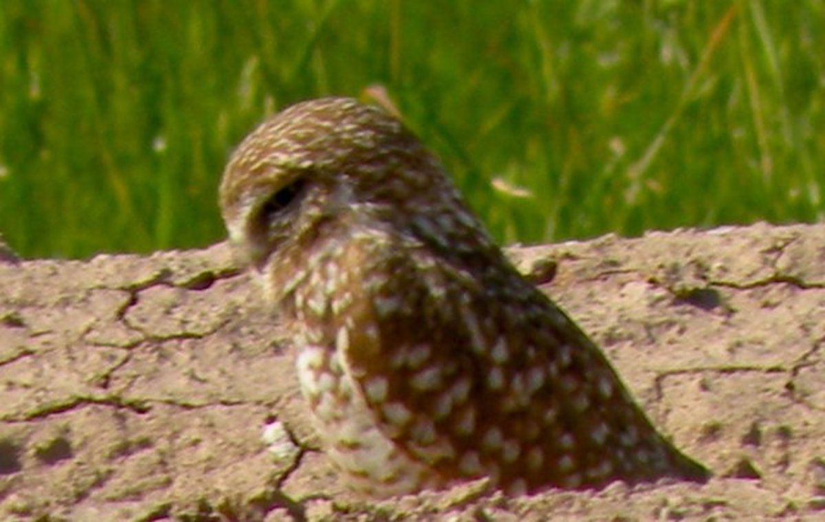 Little burrowing Owls were seen on the nearby Sony Bono National Wildlife Refuge.