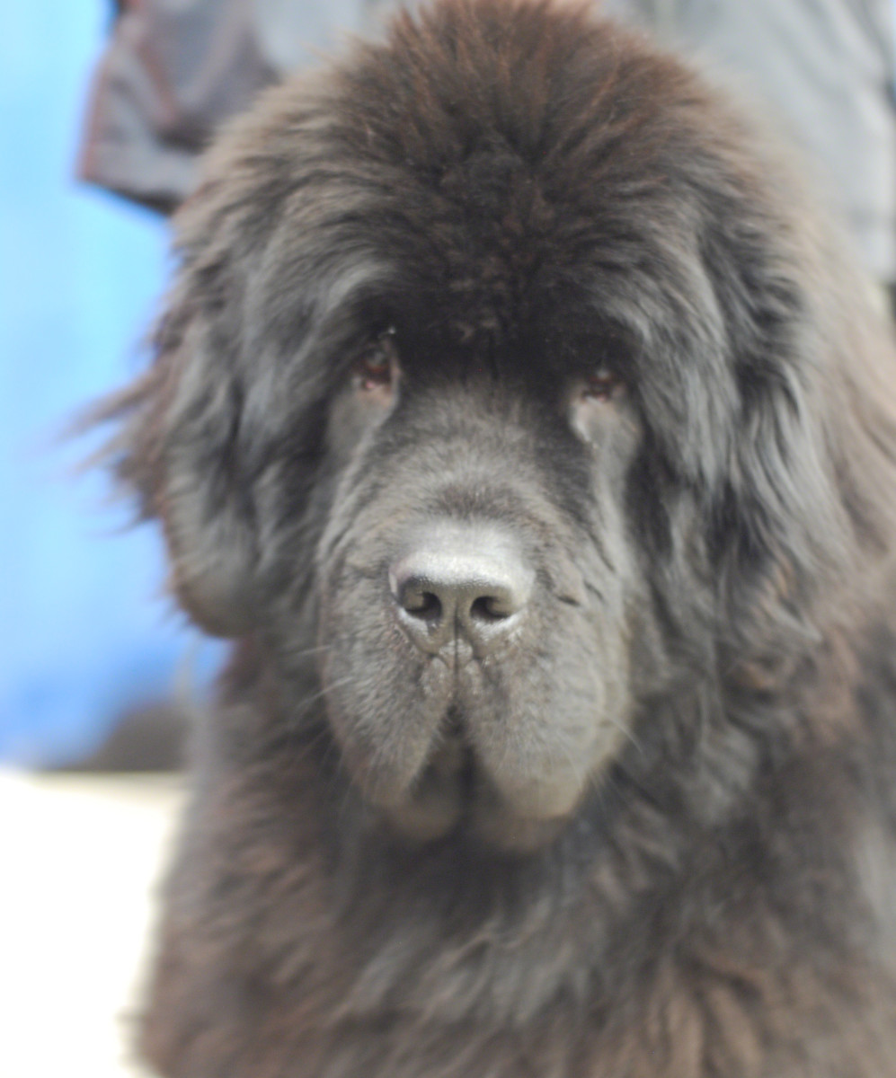 Newfoundland Dog Diet Plan