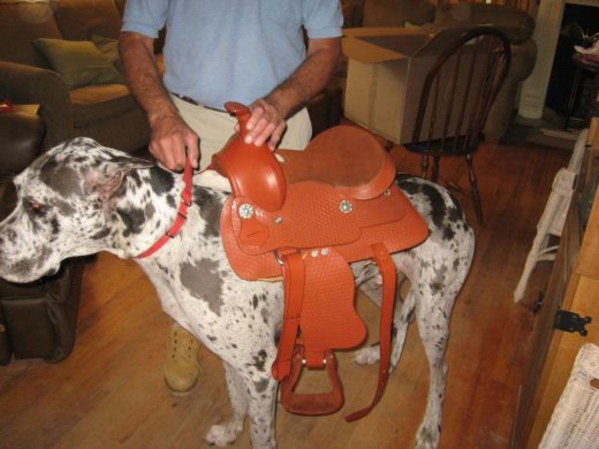 Saddle breakin' a Dane ain't always easy!