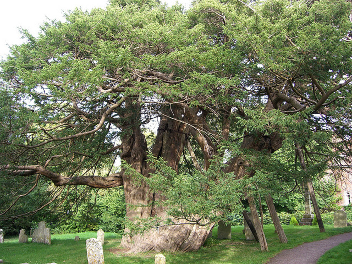 A 1,600-year-old yew tree in an English churchyard