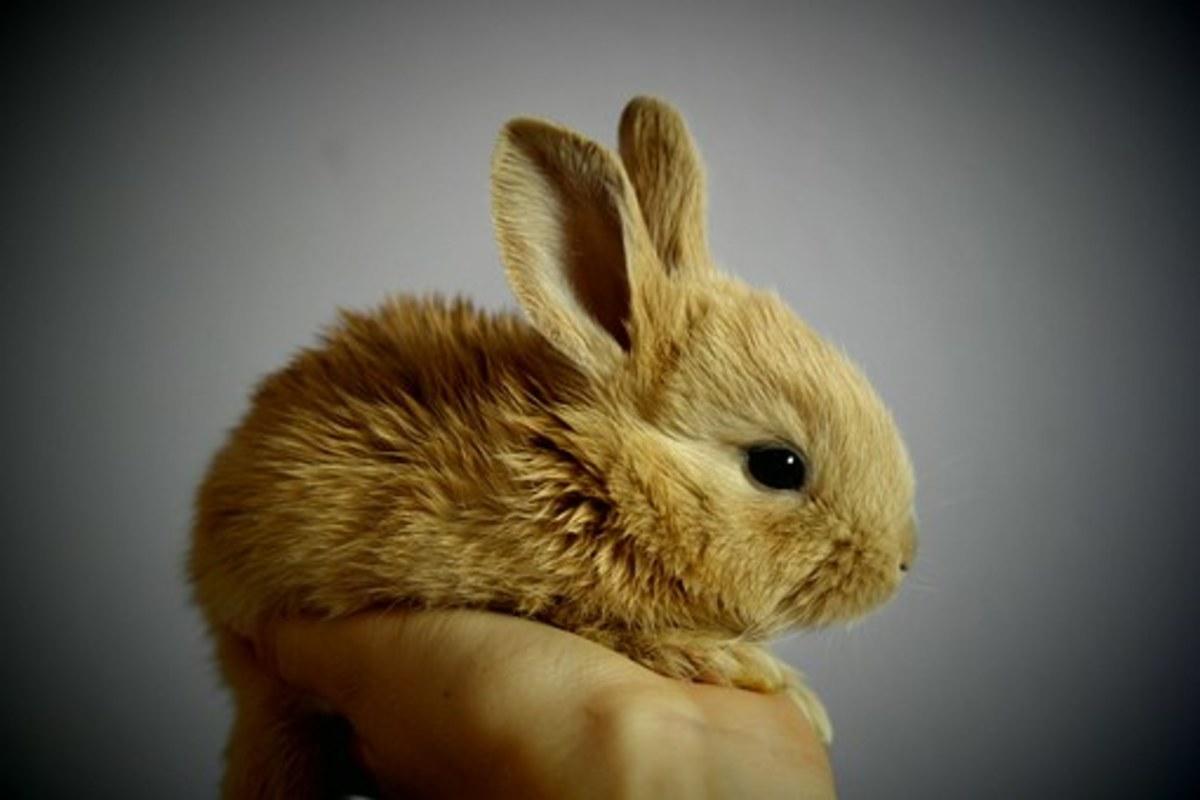 As harmless as a pet rabbit - idiom