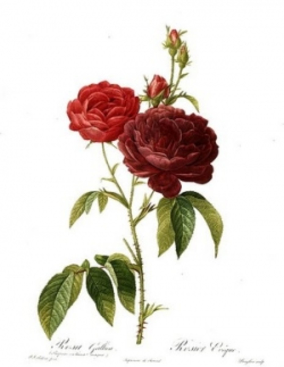 Wikipedia, Vintage Red Rose Art by Redoute