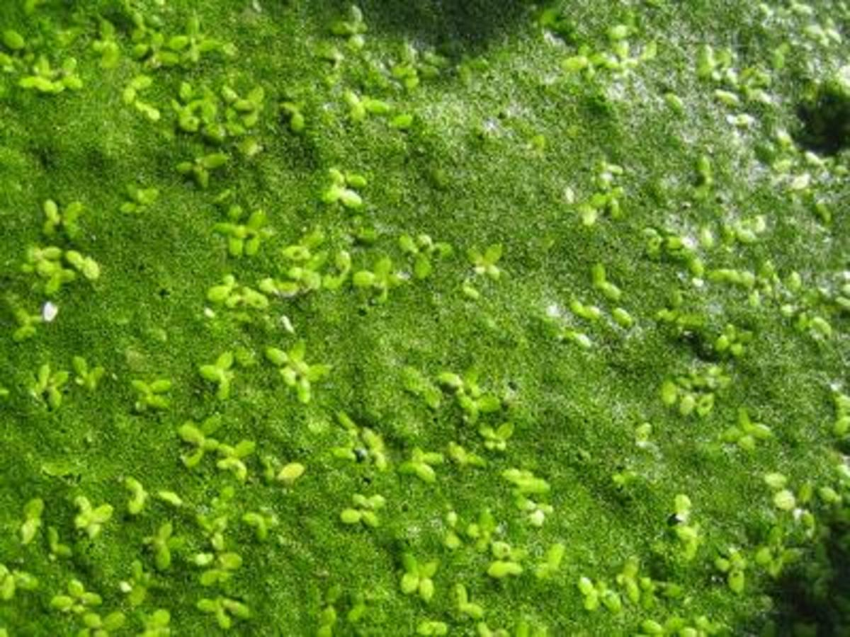 Wolffia Mixed with Small Duckweed