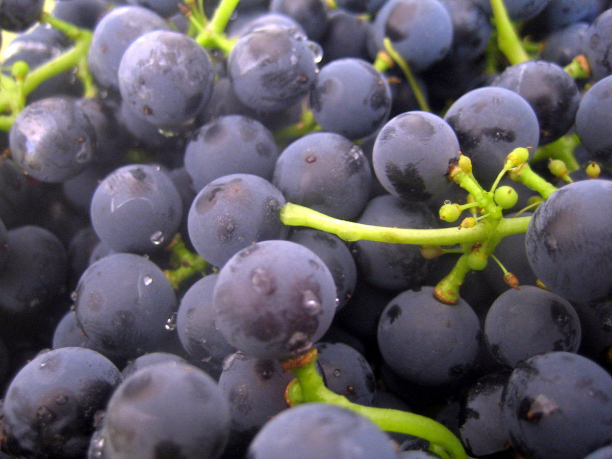 Be careful about giving your dog grapes.