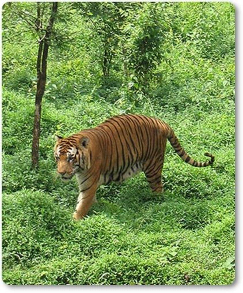 Bengal Tiger @ Kanyakumari Wild Life Sanctuary