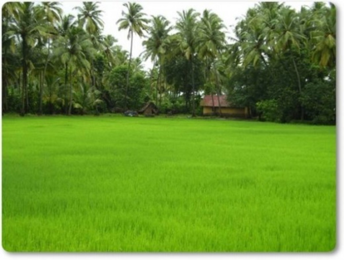 Village Paddy Fields