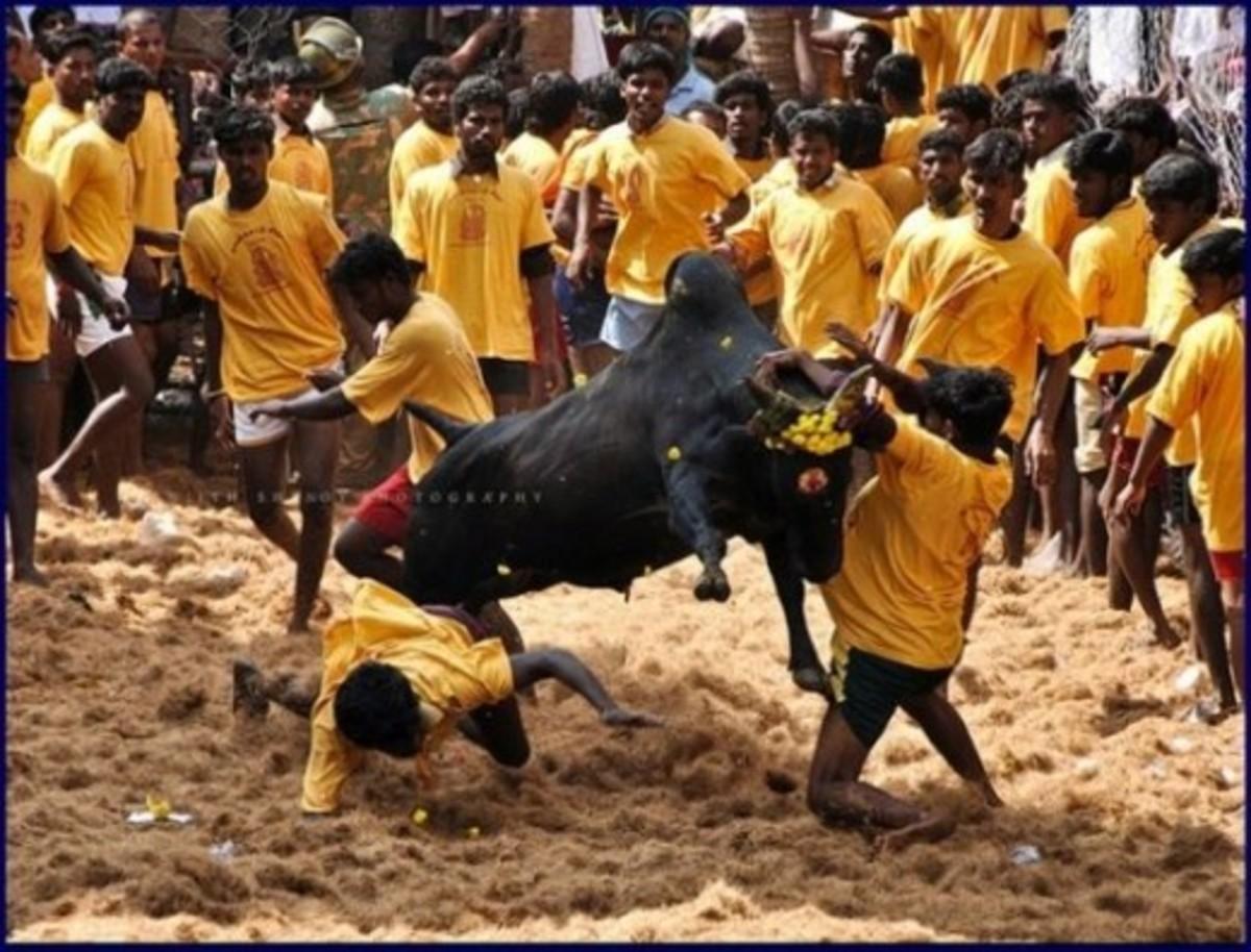 Jallikattu - Bull Fight