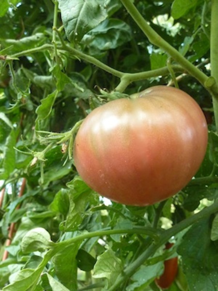 A black heirloom tomato, Carbon is an indeterminate heavy producer of beef steak like, half-pound fruits. Heavy Producer.