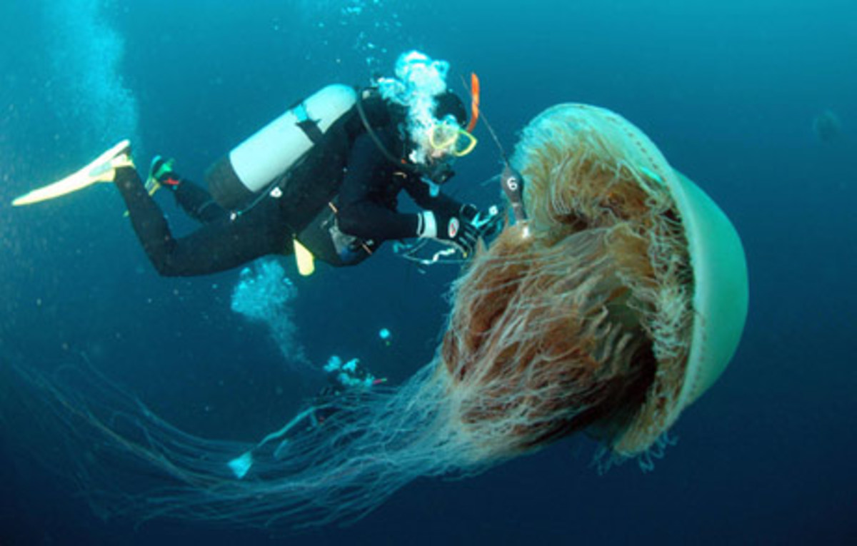 The Giant Nomura Jellyfish, found in the Seas between Japan and China belong to the Lion Mane family of Jellyfish. They grow to the size of an average man's height and weigh up to 400 lb.s