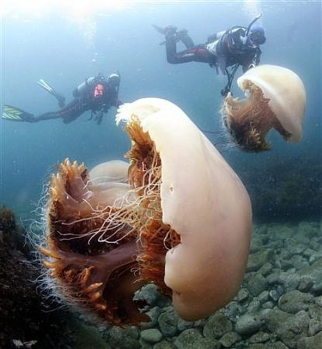 The giant Echizen Jellyfish shown in this photo is common in swarms off the coast of Japan. Its often used as a delicacy in china and Japan to make salads. Its venom is known to be poisonous to humans.